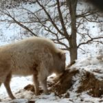 Irvine Park in downtown Chippewa Falls boasts white bison. This is a photo of one of them eating some hay on a cold, snowy, winter day.